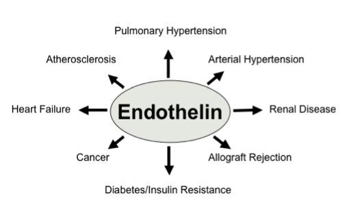 「エンドセリン」 「ET」 「endothelin B receptor」 「endothelin-3」
